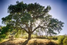 oak tree and sun free stock photo public domain pictures