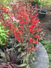 cardinal flower lobelia new moon maroon cardinal flower new moon maroon 1