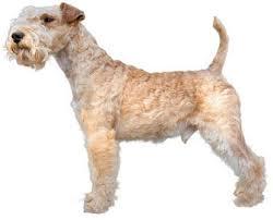 affenpinscher jakt emotion choose your small dog good luck