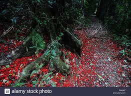 fallen flowers of kurrajong brachychiton acerifolius