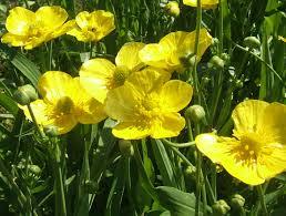 native uk plants ranunculus water buttercups lilies water gardens