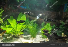 Aquarium Tropical Plants Aquarium With Fishes Natural Plants And Rocks Tropical Fishes
