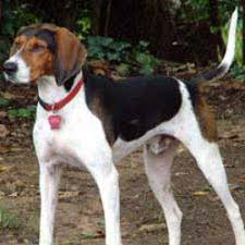 bluetick coonhound climbing tree treeing tennessee brindle breed pictures and information
