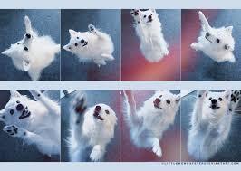 miniature american eskimo dog life expectancy happy dancing eskie american eskimo pinterest american