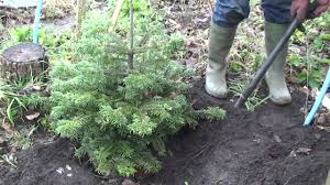 how to look after your real christmas tree with roots youtube
