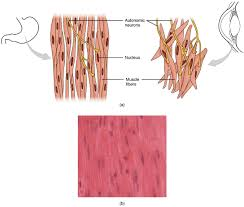 Anatomy Structure Of Human Body 10 8 Smooth Muscle Anatomy And Physiology