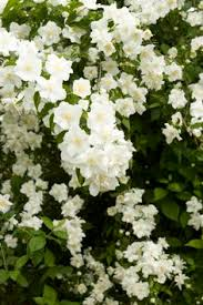 Learn More About Full Sun by Dwarf Snowflake Mock Orange Dwarf Deciduous Shrub With Fountain