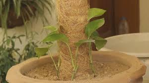 improve your interior with green indoor plants fix money plant on