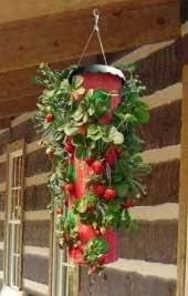 topsy turvy strawberry planter strawberry plants org country