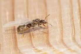 the culinary world is embracing ants u0026 you should too food