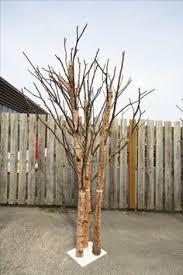 flat sided bare silver birch tree silver birch tree trunks