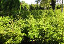 wholesale christmas trees newlands nursery and garden centre at