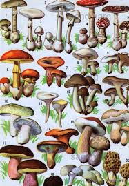 vintage french champignons chart of poisonous and edible mushrooms