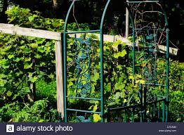 home grown grape vine and trellis in backyard stock photo royalty
