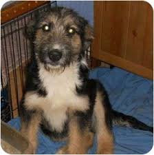 bearded collie brown sheepdogs 1 left adopted puppy all of ct bearded collie
