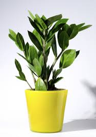 zamioculcas zamiifolia loutos u0026 yasmeen flowers