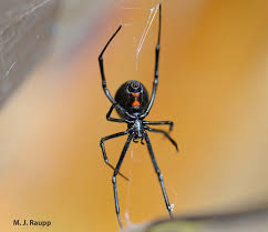 Black Widow Spiders Had A - beautiful but dangerous black widow spiders i latrodectus i spp