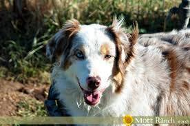 w lazy j australian shepherds mott ranch australian shepherd puppies
