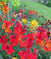 wall flowers wallflower plants tips for growing wallflowers in the garden