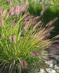 pennisetum moudry smallish ornamental grass with purple seed