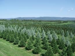 christmas christmas tree farms near me lights decoration mexico