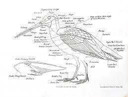 halloween skeleton printable bird skeleton printout bird bones are hollow if can have cut a