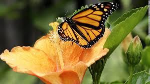 monarch butterflies are a comeback cnn