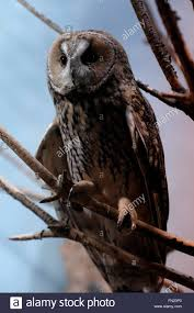 Tisch Family Zoological Gardens - a long eared owl asio otus in the tisch family zoological
