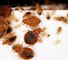 How To Identify Bed Bugs Bed Bug Identification Chart Want To Know If You Have Seen A