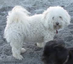 havanese vs bichon frise havachon dog breed information and pictures