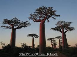 baobab the tree xcitefun net