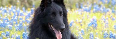 cost of a belgian sheepdog belgian sheepdog club of america