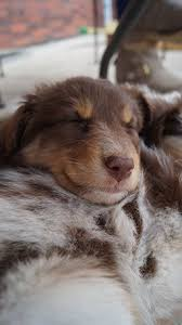 australian shepherd 6 weeks old 245 best awesome aussies images on pinterest aussies animals