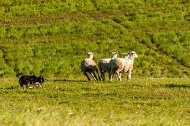 australian shepherd herding sheep sheepdogs use simple rules to herd sheep sciencedaily