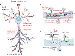 frontiers dendritic actin cytoskeleton structure functions