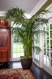 plant room kentia palm large tropical plant shipped to your door