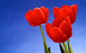 toshiba desktop wallpaper clovisso wallpaper gallery red tulips desktop wallpapers