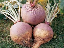 A Root Vegetable - root vegetables turnips rutabagas and radishes diy