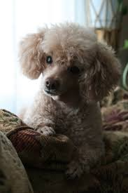 Gingerdoodle by 522 Best Poodle Images On Pinterest Toy Poodles Toys And Animals