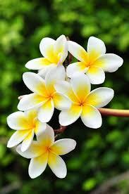 40 beautiful flower wallpapers for your desktop hawaiian flowers