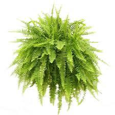 live indoor plants live indoor plants walmart com delray boston fern in 10 hanging