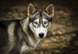 australian shepherd eye color genetics why do husky dogs have blue eyes dog care the daily puppy