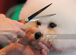bichon frise dog breeders a bichon frise dog is given a trim on th pictures getty images