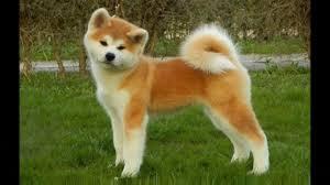 afghan hound dog images dog breeds rase list a akita inu dog australian terrier afghan