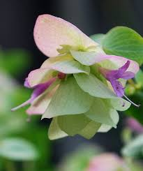 the cutting edge of ordinary ornamental oregano