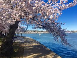 National Cherry Blossom Festival by Spring Unfurls In Washington Dc At The National Cherry Blossom