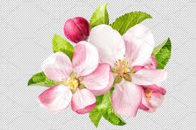 apple tree blossom png objects creative market