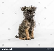 affenpinscher photos affenpinscher puppy dog looking camera shot stock photo 254511148