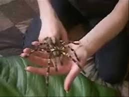 poecilotheria fasciata tarantula handling
