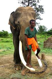 rethinking human elephant relations in south asia oupblog